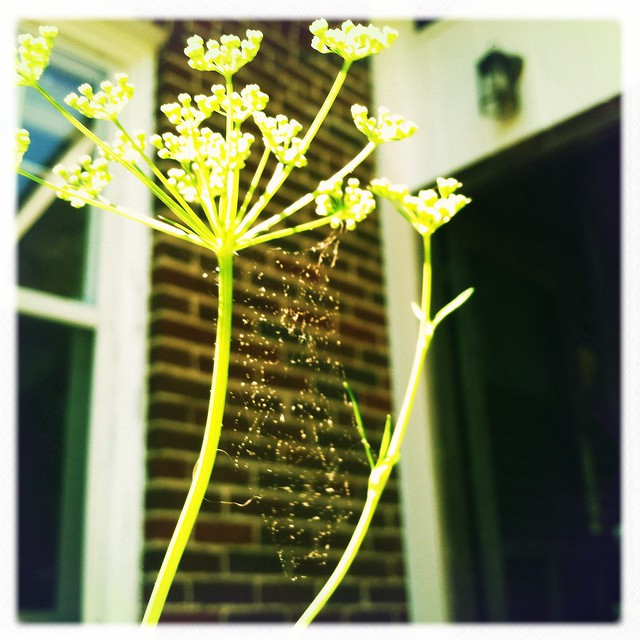 parsley flower with spider web