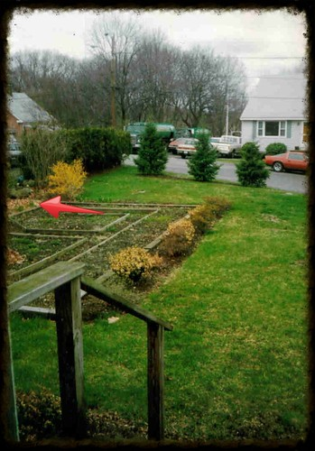 pine trees in the front garden area with tiny holly bushes (red arrow)