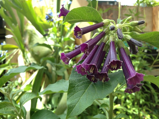 Iochroma purple flowers