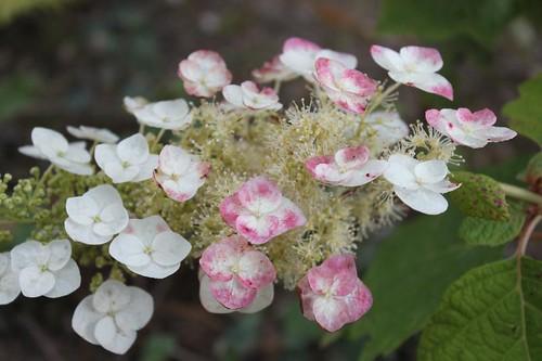 20120729_4620_hyrangea-flowerhead_Small