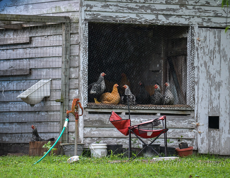 cjane chickens