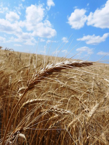 Blue-bird skies over the wheat