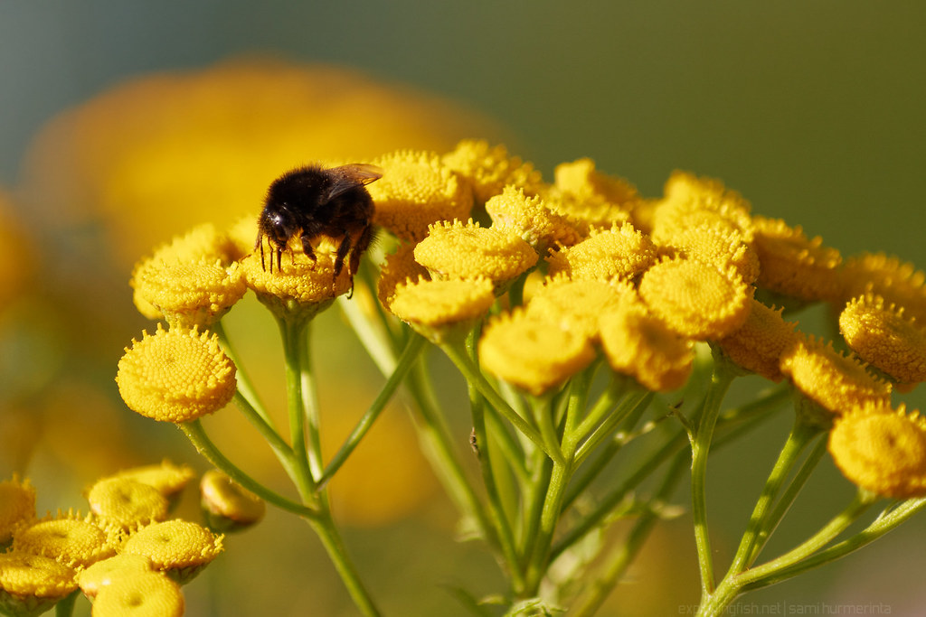 A bumblebee on a Tansy