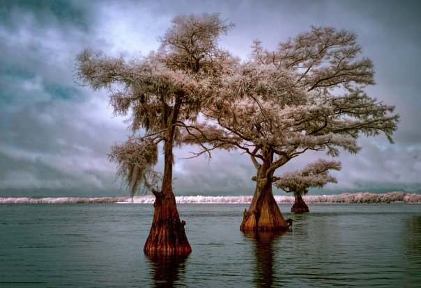 Three more cypress trees