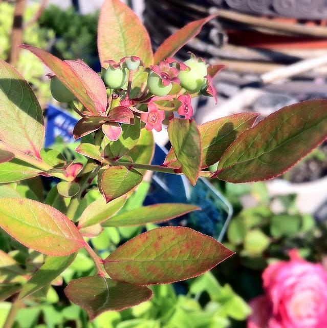 Northsky Dwarf Blueberry