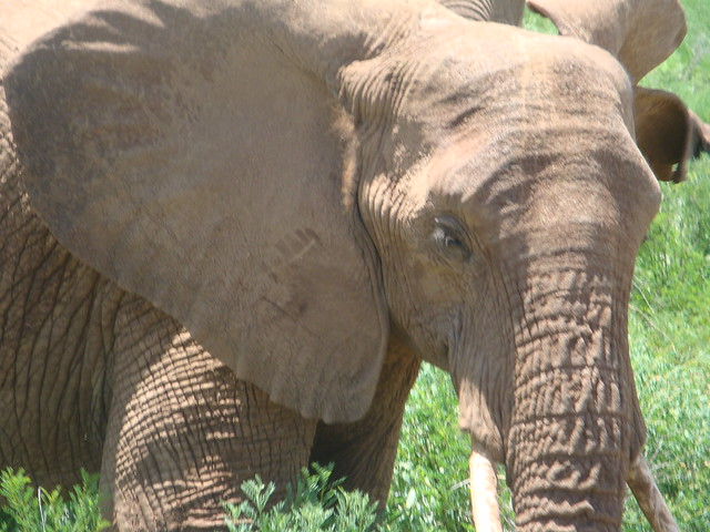 African elephant, Shaba National Reserve, Kenya