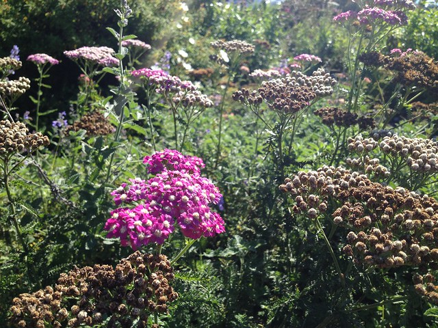 Purple yarrow