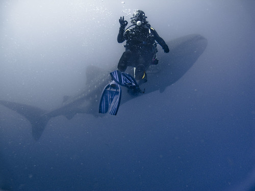 Whale Shark and Diver