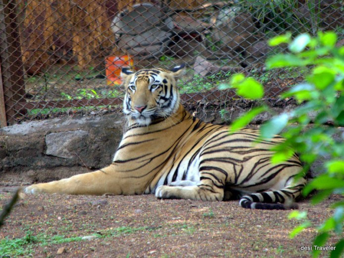 Royal Bengal Tiger resting in shade Hyderabad Zoo Park