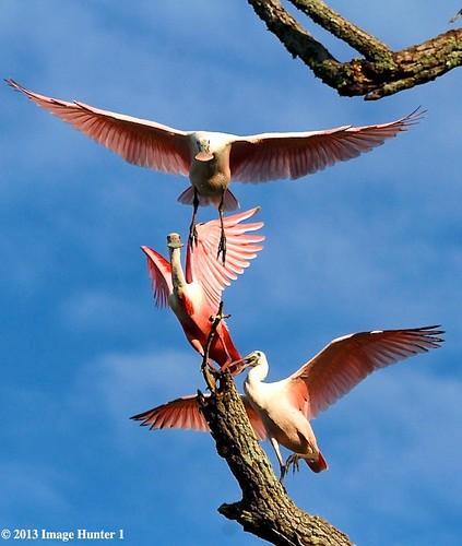 Flight School For Roseate Spoonbills