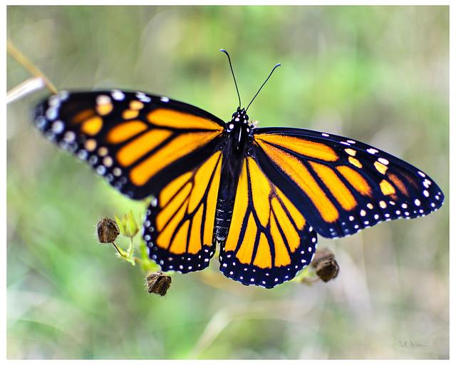 Frostpocket Monarch Butterfly