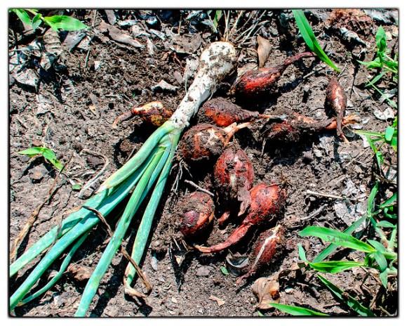 Onions  Lower Yurtistan