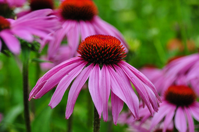 Pink Coneflower Flickr Photo Sharing