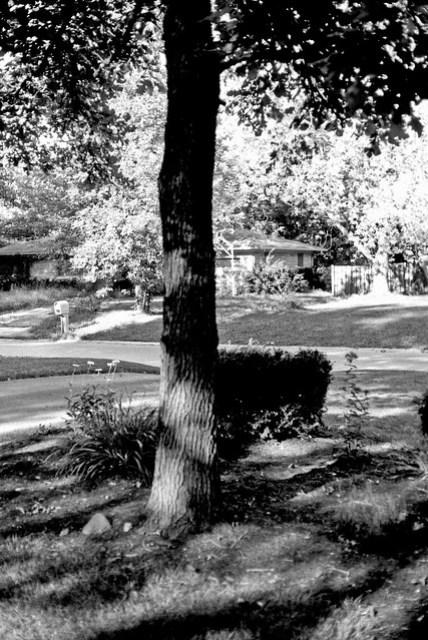 Front yard oak