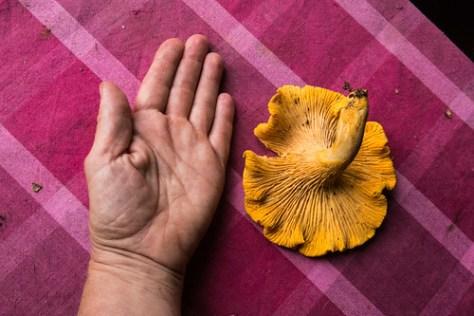 Result of mushroom hunt this morning: one huge cantharelle, 13 cm