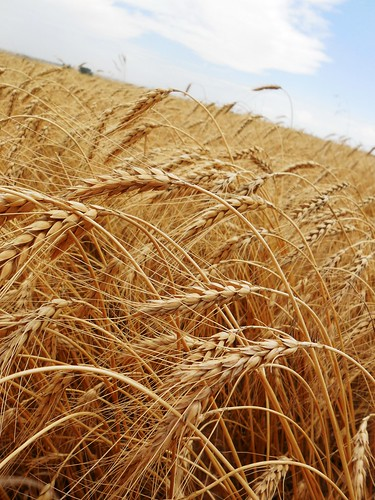 Wheat bouncing in the wind