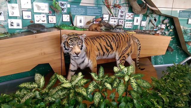 tiger-wetland
