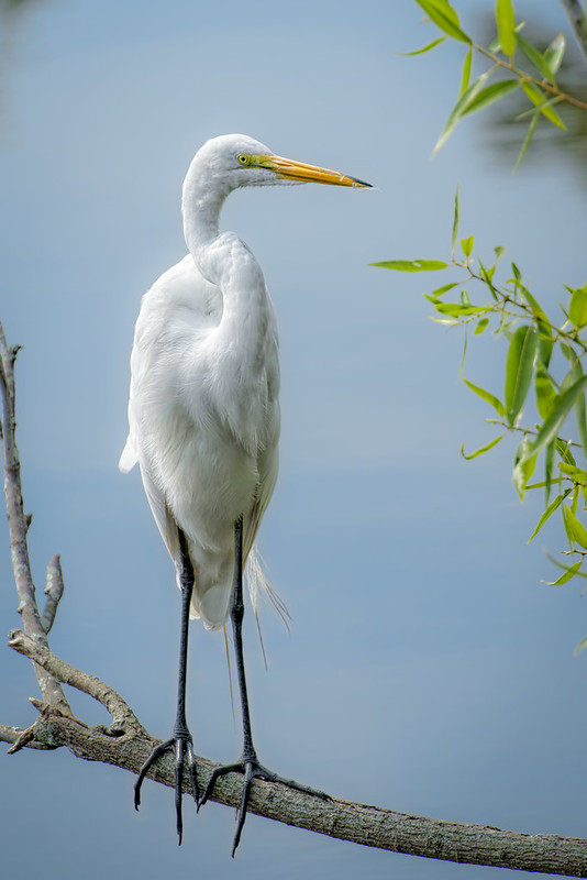 Great Egret ABOAS*