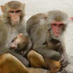 144- Kathmandu.Monos en Swayambhunath
