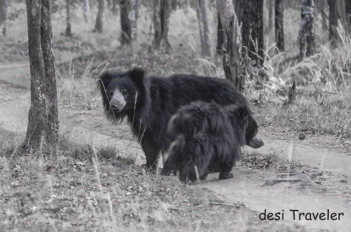female sloth bear with cub Satpura national park