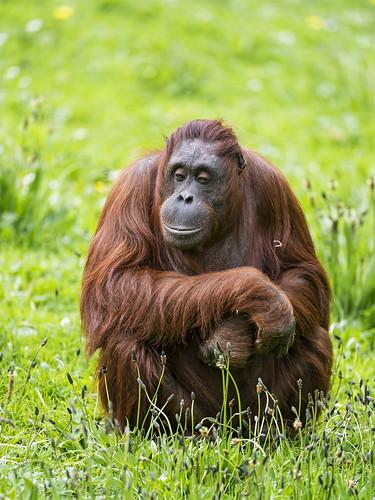 Orangutan sitting in the grass  A simple but nice photo