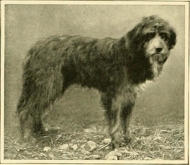 "Image from page 131 of ""The new book of the dog : a comprehensive natural history of British dogs and their foreign relatives, with chapters on law, breeding, kennel management, and veterinary treatment"" (1911)"