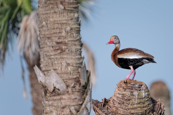 Perched Black Bellied Whistling Duck