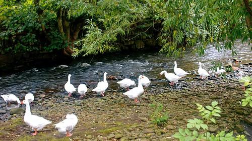 Sowerby Bridge geese