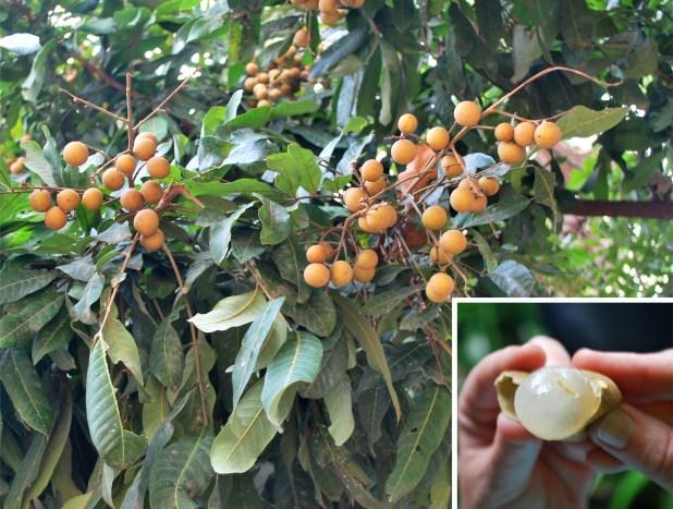 Longan, fruta de Asia