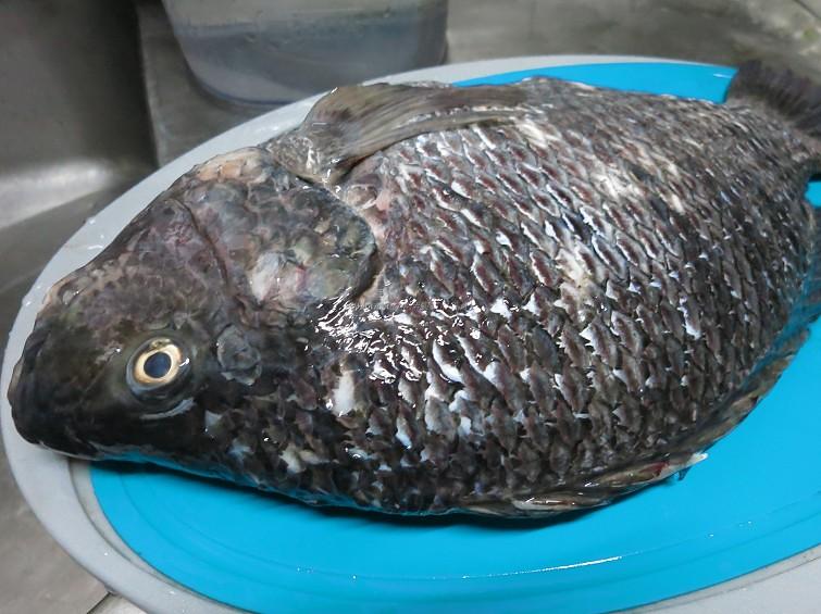 台灣鯛 (2)