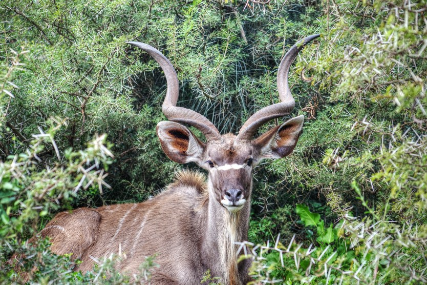 A greater kudu resting in the brush.