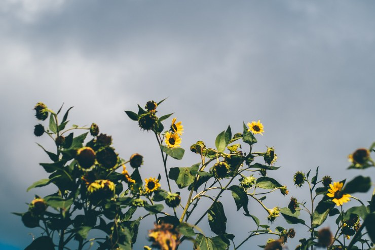 Withering Sunflowers