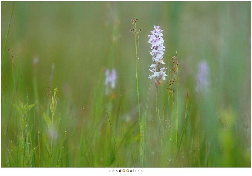 Wilde orchideeën in Nederland