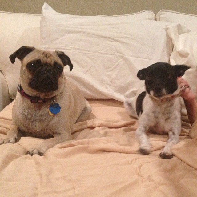After the scary fireworks, these two princesses are ready for bed! #pug #ratterrier