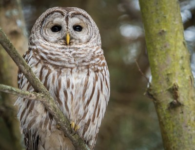 Barred Owl in Ontario