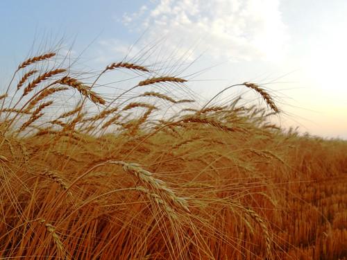 Wheat at dusk