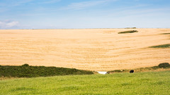 Wheat field in the rolling landscape of #Dorset