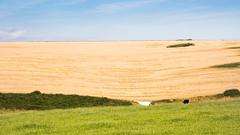 Wheat field in the rolling landscape of #Dorset