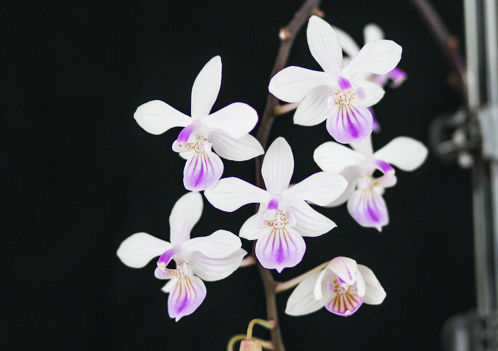 Photo:Phalaenopsis lindenii By:blumenbiene