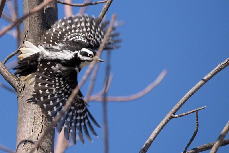 _DSC6487 Hairy Woodpecker