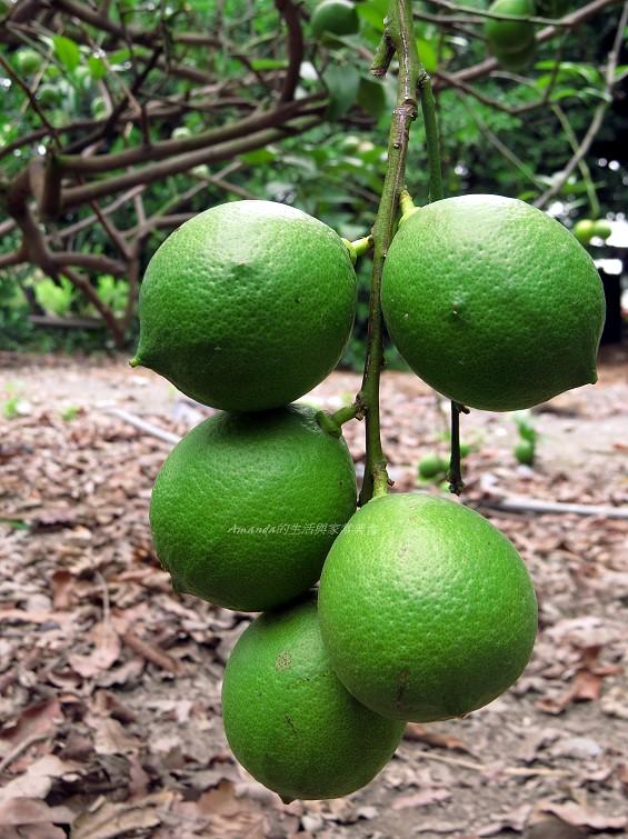 檸檬寒天露-檸檬寒天涷-果汁寒天凍 檸檬