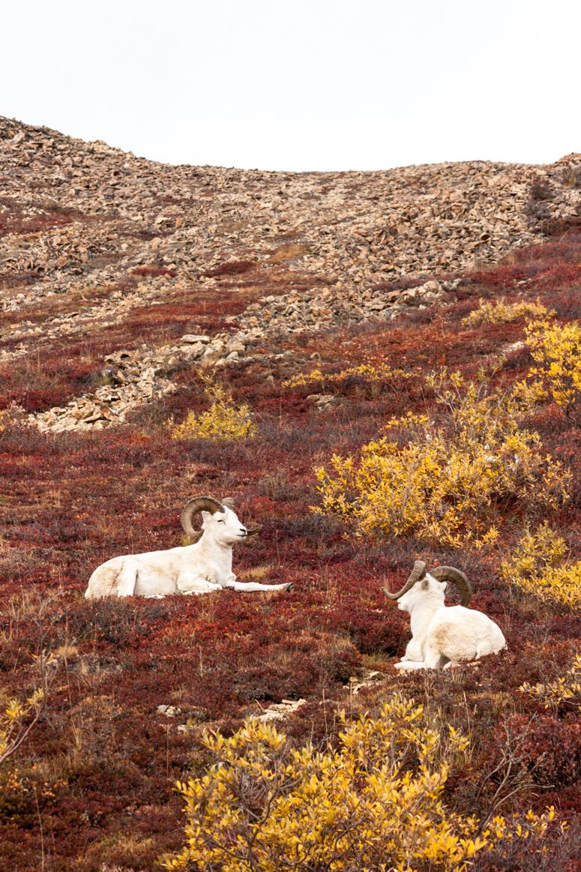 denali national park wildlife