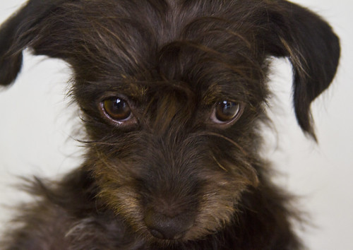 Torgue the 18 Week Old Adoptable Terrier Mix