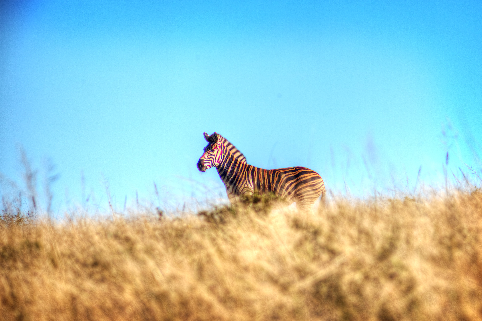 A zebra walking through the plains.