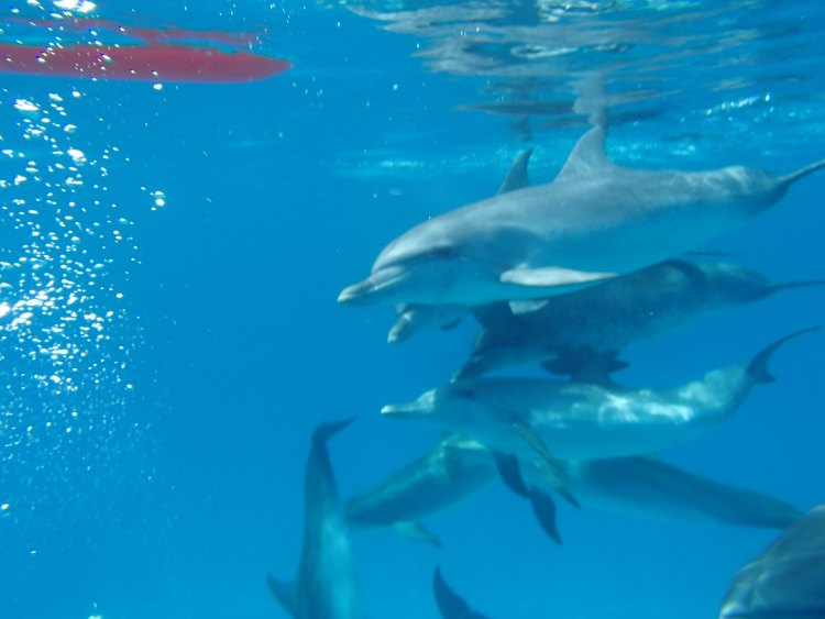 A pod of dolphins swim by