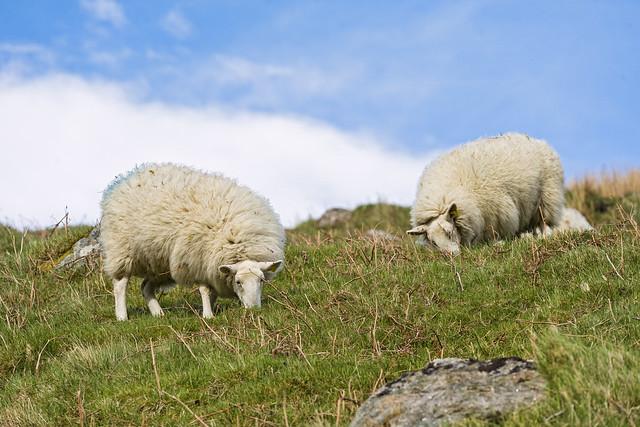 Wicklow sheep II