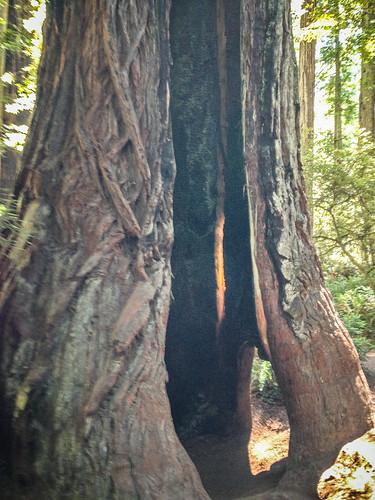 Redwoods and Elk-053