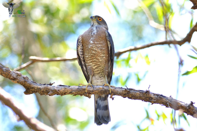 Alder's Bird-watching Notes: 松雀鷹的日常生活(一).main activities of Besra .2014/07/07 Part I