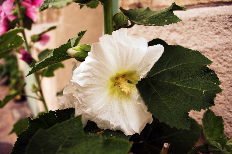 Fleurs des pavés