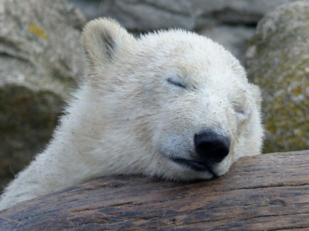 Polar Bear Lale today, so tired:) (explore 2014-06-09)